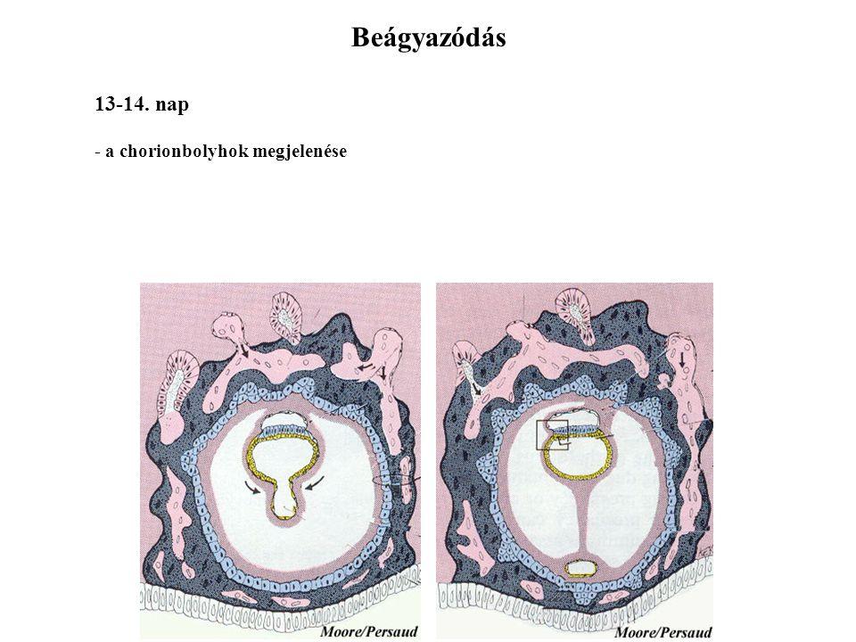 9-12. Tag - teljes beágyazódás - lakunaképződés - hCG - terhességi teszt Beágyazódás