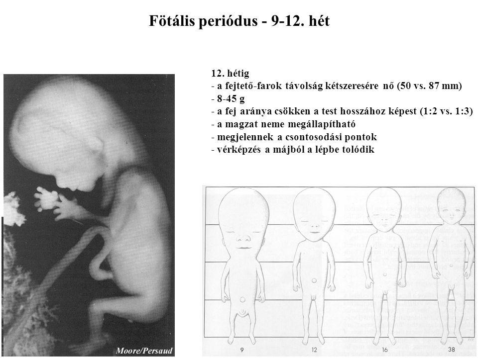 Embryonalis periódus- 8. hét A faroknyúlvány eltűnik Az ujjak elválnak a lábon is 5156
