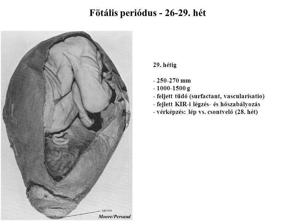 Fötális periódus - 21-25. hét 25. hétig - 200-240 mm - számottevő tömegnövekedés (500-900 g) - vékony, ráncos, rózsaszín bőr - surfactant termelés meg