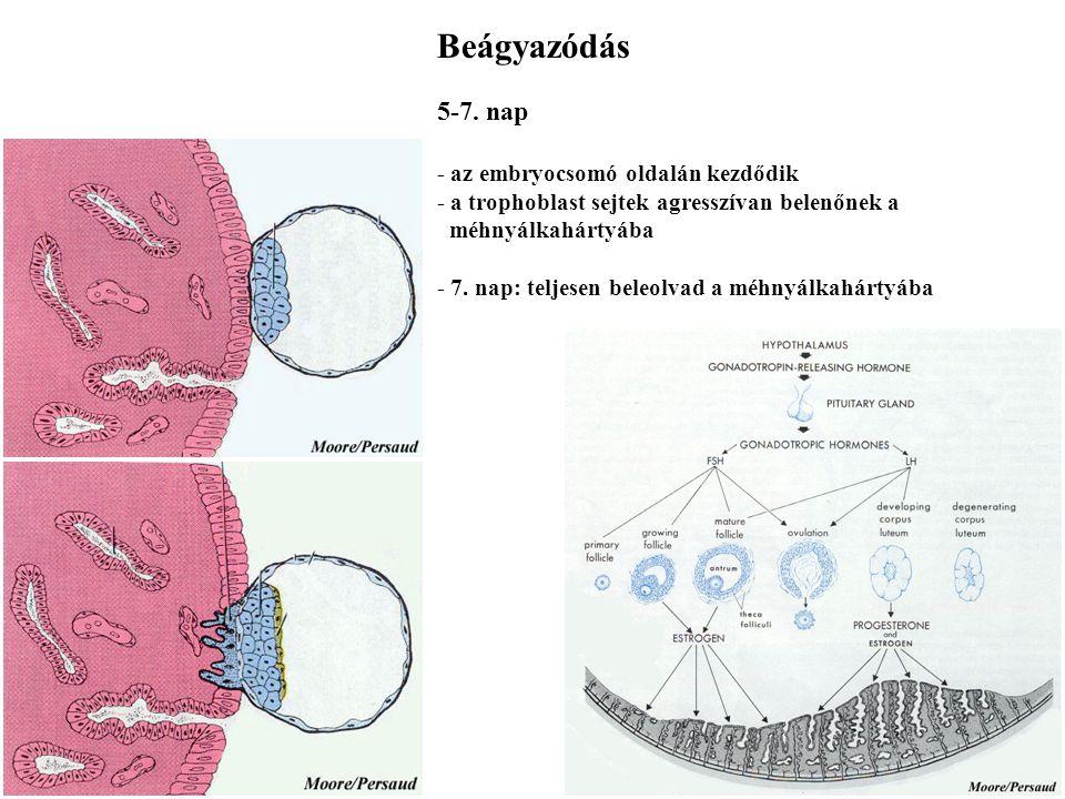Hólyagcsíra 4. nap - a hólyagcsírában üreg képződik - nincs méretnövekedés - táplálkozás a méhűrből - első differenciálódási lépés: embryocsomó és tro