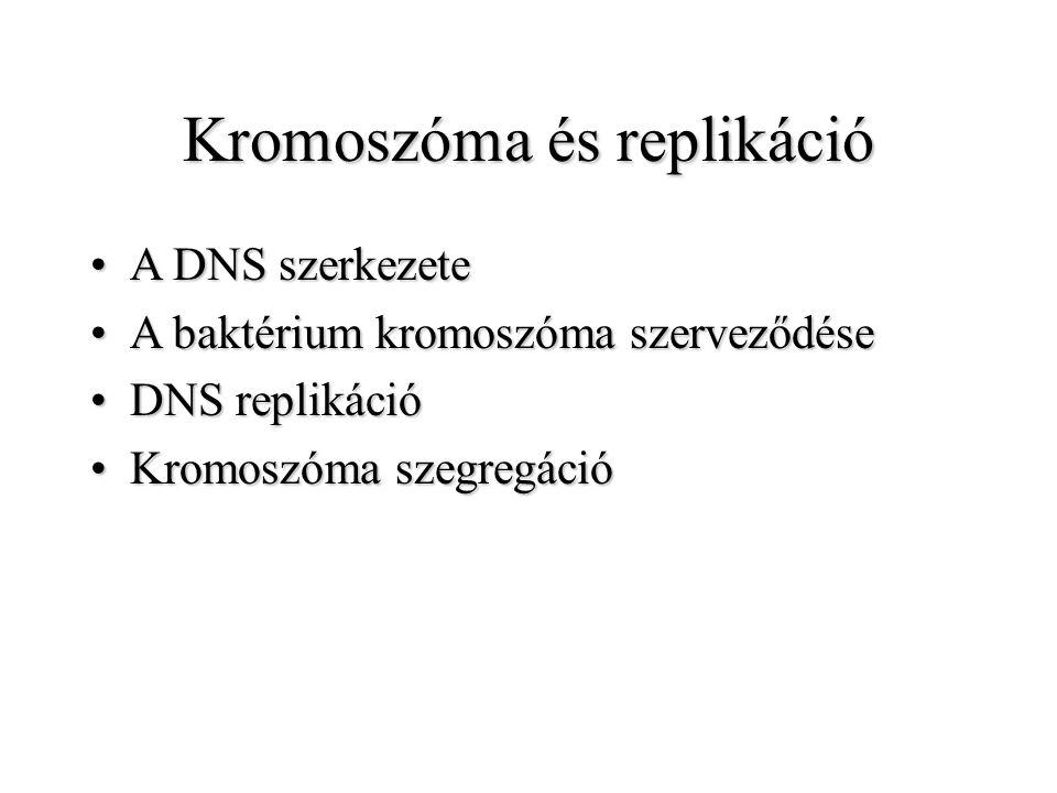 Kromoszóma és replikáció A DNS szerkezeteA DNS szerkezete A baktérium kromoszóma szerveződéseA baktérium kromoszóma szerveződése DNS replikációDNS rep