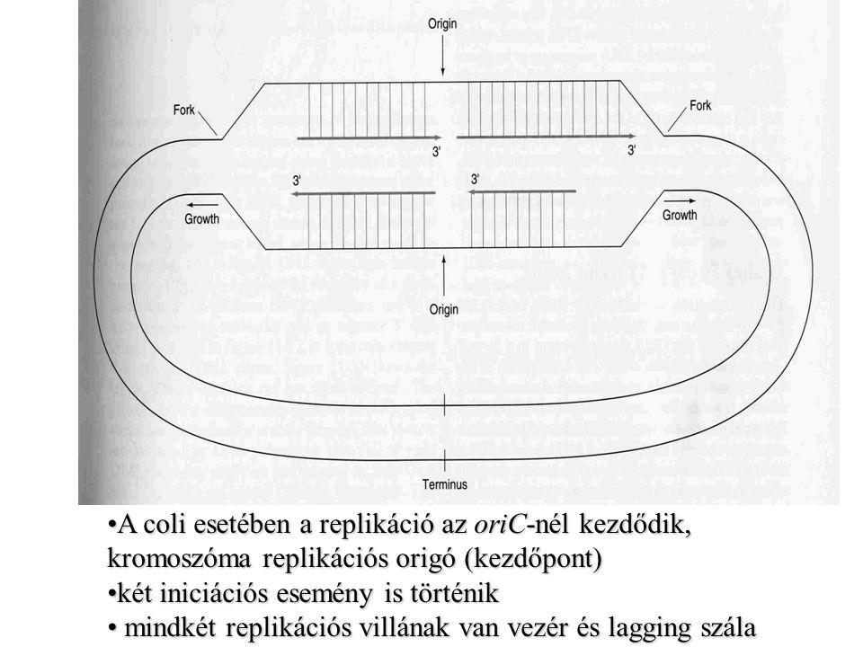 A coli esetében a replikáció az oriC-nél kezdődik, kromoszóma replikációs origó (kezdőpont)A coli esetében a replikáció az oriC-nél kezdődik, kromoszó