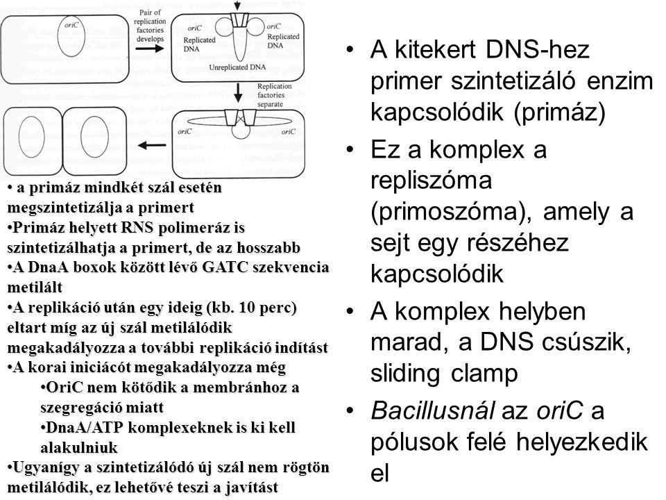 A kitekert DNS-hez primer szintetizáló enzim kapcsolódik (primáz) Ez a komplex a repliszóma (primoszóma), amely a sejt egy részéhez kapcsolódik A komp