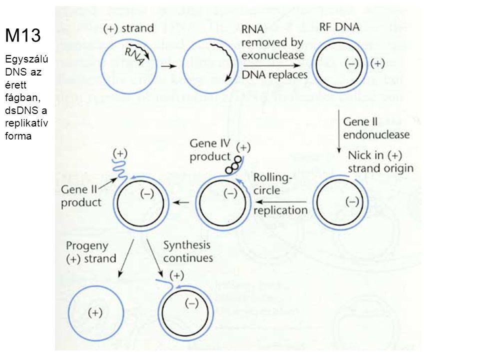 M13 Egyszálú DNS az érett fágban, dsDNS a replikatív forma
