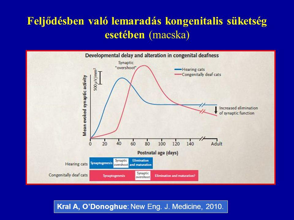 Feljődésben való lemaradás kongenitalis süketség esetében (macska) Kral A, O'Donoghue: New Eng. J. Medicine, 2010.