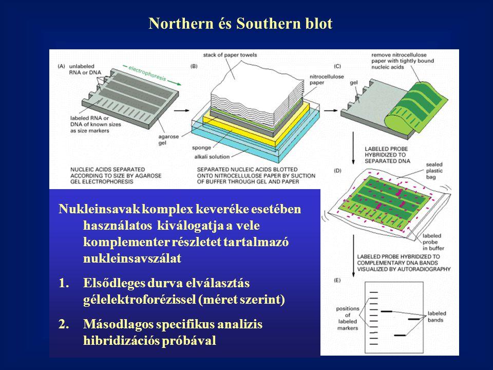 Northern és Southern blot Nukleinsavak komplex keveréke esetében használatoskiválogatja a vele komplementer részletet tartalmazó nukleinsavszálat 1.El