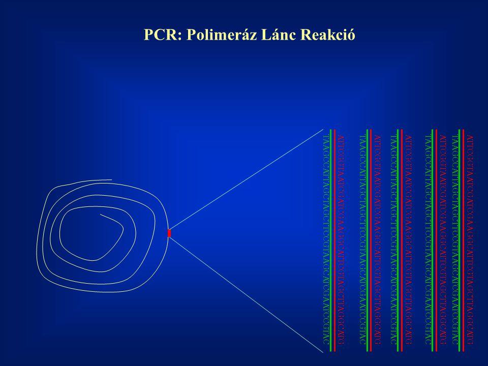 ATTCGGTAATCGATCGAAGGCATTCGTAGCTTAGGCATG TAAGCCATTAGCTAGCTTCCGTAAGCATCGAATCCGTAC PCR: Polimeráz Lánc Reakció ATTCGGTAATCGATCGAAGGCATTCGTAGCTTAGGCATG TA