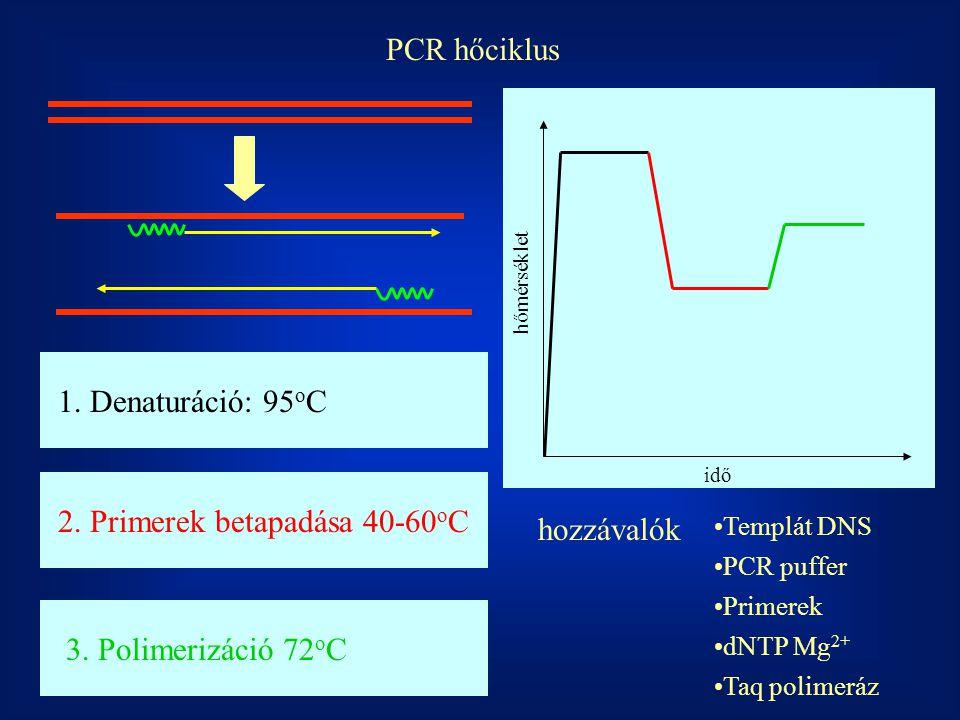 PCR hőciklus hőmérséklet idő 1. Denaturáció: 95 o C2. Primerek betapadása 40-60 o C3. Polimerizáció 72 o C Templát DNS PCR puffer Primerek dNTP Mg 2+