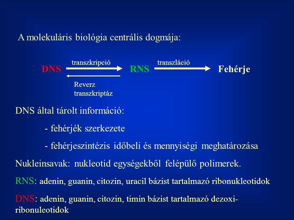 A molekuláris biológia centrális dogmája: DNSRNSFehérje transzkripciótranszláció Reverz transzkriptáz DNS által tárolt információ: - fehérjék szerkeze