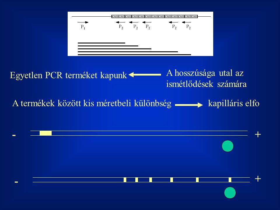 +- + - Egyetlen PCR terméket kapunk A hosszúsága utal az ismétlődések számára A termékek között kis méretbeli különbségkapilláris elfo