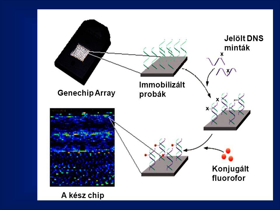 Genechip Array Immobilizált probák Jelölt DNS minták x x x x Konjugált fluorofor A kész chip