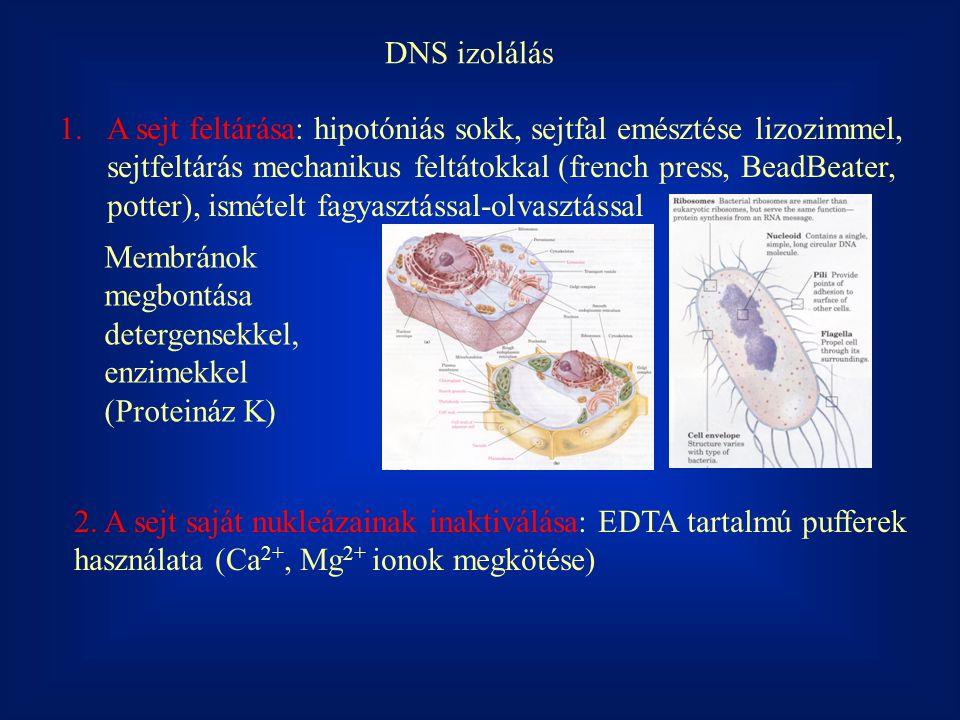 DNS izolálás 1.A sejt feltárása: hipotóniás sokk, sejtfal emésztése lizozimmel, sejtfeltárás mechanikus feltátokkal (french press, BeadBeater, potter)