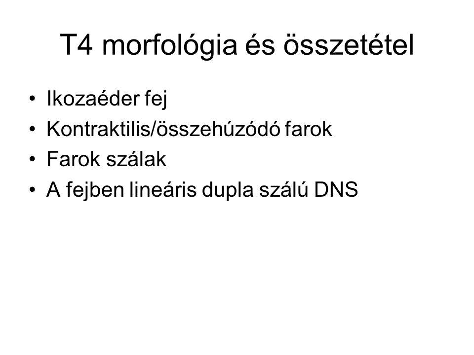 T4 morfológia és összetétel Ikozaéder fej Kontraktilis/összehúzódó farok Farok szálak A fejben lineáris dupla szálú DNS