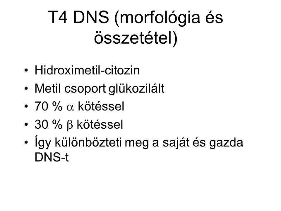 T4 DNS (morfológia és összetétel) Hidroximetil-citozin Metil csoport glükozilált 70 %  kötéssel 30 %  kötéssel Így különbözteti meg a saját és gazda DNS-t