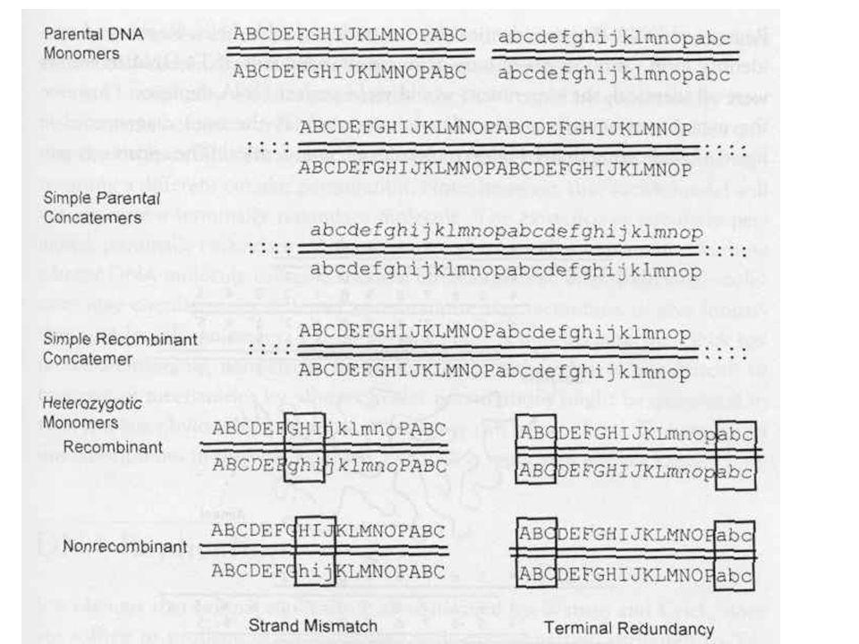 """Cirkuláris permutáció –Cirkuláris géntérkép, de lineáris molekula Mintha egy kör alakú molekulát különböző helyeken vágnánk fel Random duplex kialakítás –Bizonyíték, hogy a molekula cirkulárisan permutált A terminális redundancia és cirkuláris permutáció megmagyarázza, hogy miért cirkuláris a géntérkép –Mert nincsen """"fix kezdőpontja a DNS-nek, ezért a géntérképnek sem lehet"""