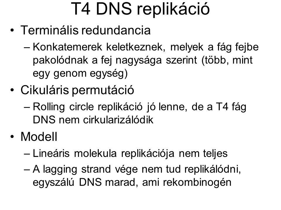 T4 DNS replikáció Terminális redundancia –Konkatemerek keletkeznek, melyek a fág fejbe pakolódnak a fej nagysága szerint (több, mint egy genom egység) Cikuláris permutáció –Rolling circle replikáció jó lenne, de a T4 fág DNS nem cirkularizálódik Modell –Lineáris molekula replikációja nem teljes –A lagging strand vége nem tud replikálódni, egyszálú DNS marad, ami rekombinogén