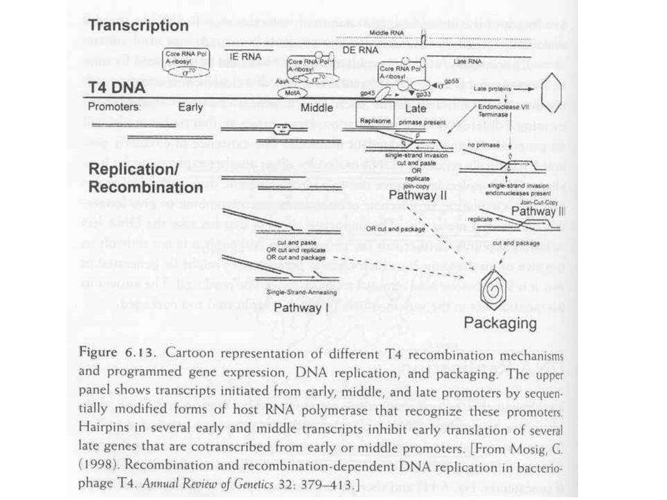 T4 adszorpció Farok szálak reverzibilisen kötődnek Fág mozog a külső membránon Irreverzibilis kötődés a fág receptoron Adhéziós zóna (belső, külső membrán összeér) Farok összehúzódik Proton transzfer segítségével bejut a DNS