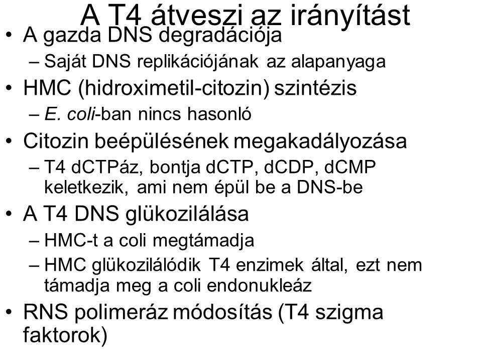 A T4 átveszi az irányítást A gazda DNS degradációja –Saját DNS replikációjának az alapanyaga HMC (hidroximetil-citozin) szintézis –E.
