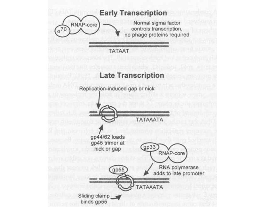 """T4 fágrészecskék termelése Fág alkotórészek szintézise –Fej, farok –Ahogy a premature lízisből látszott a fej, farok szintézise független folyamat –A vírusrészecskék száma lineárisan nő, mintha """"gyártósoron készülnének –Fej szintézisében chaperon fehérjék Fág DNS pakolás –Fejméretű pakolás, endonukleáz hasítás, termináz enzim –Spirális összecsomagolás (ion etching-el kimutatva) Gazdasejt lízis, fágspecifikus lizozim enzimmel"""