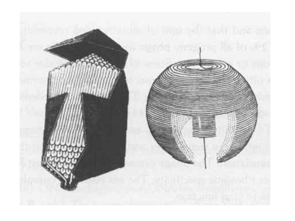 Más virulens fágok T sorozat –Delbrück 7 különböző fágot választott Elektronmikroszkóppal a T párosak és T páratlanok hasonlítottak egymáshoz –T páros, kontraktilis farok, hosszúkás fej –T páratlan, nem kotraktilis farok, oktaéderes fej