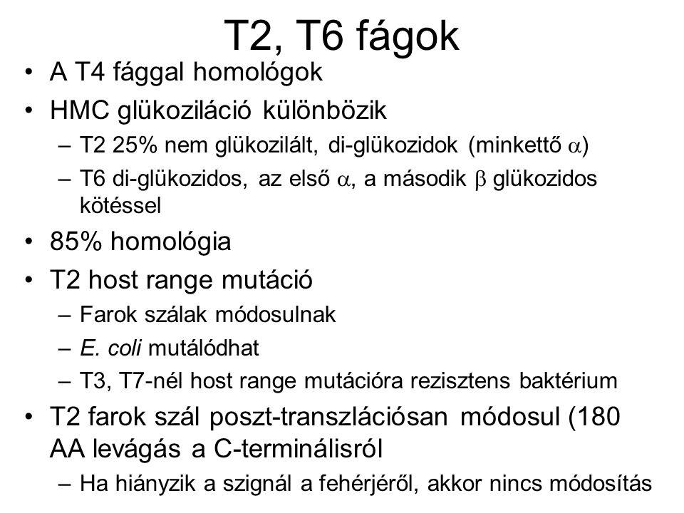 T2, T6 fágok A T4 fággal homológok HMC glükoziláció különbözik –T2 25% nem glükozilált, di-glükozidok (minkettő  ) –T6 di-glükozidos, az első , a második  glükozidos kötéssel 85% homológia T2 host range mutáció –Farok szálak módosulnak –E.