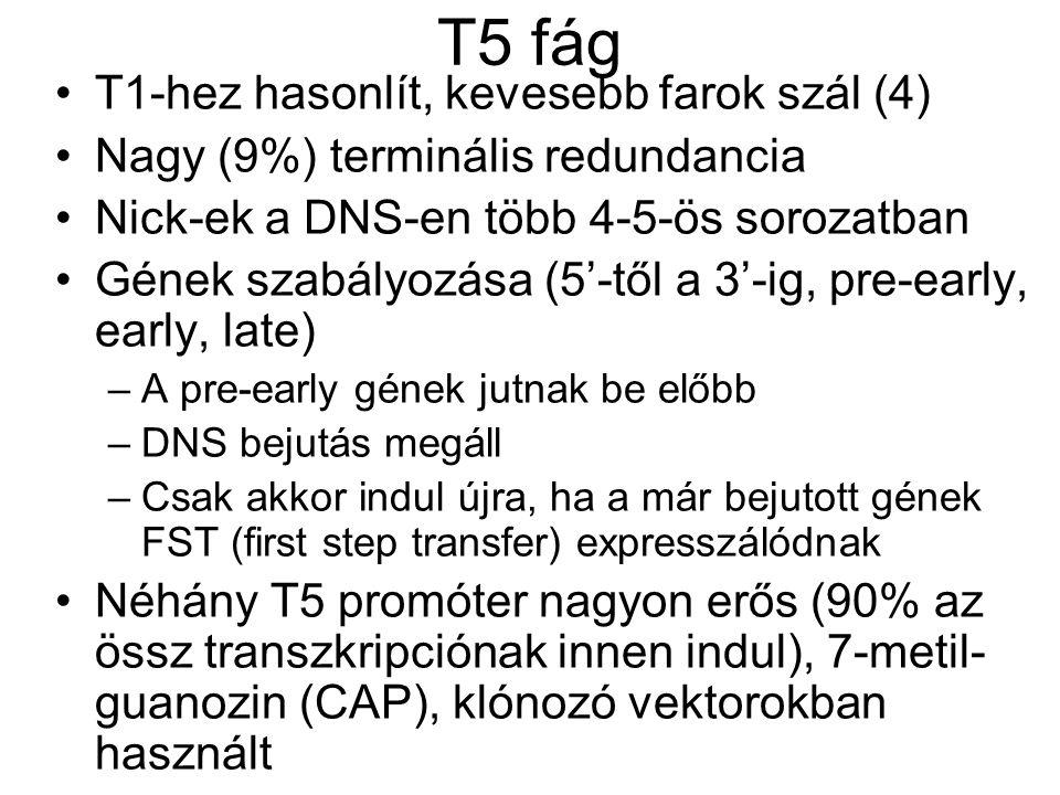 T5 fág T1-hez hasonlít, kevesebb farok szál (4) Nagy (9%) terminális redundancia Nick-ek a DNS-en több 4-5-ös sorozatban Gének szabályozása (5'-től a 3'-ig, pre-early, early, late) –A pre-early gének jutnak be előbb –DNS bejutás megáll –Csak akkor indul újra, ha a már bejutott gének FST (first step transfer) expresszálódnak Néhány T5 promóter nagyon erős (90% az össz transzkripciónak innen indul), 7-metil- guanozin (CAP), klónozó vektorokban használt
