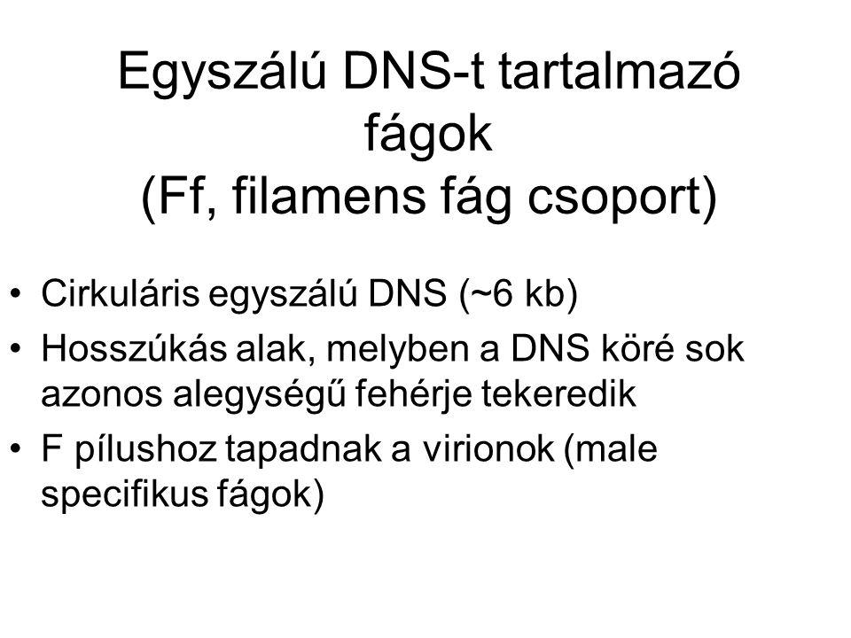 Egyszálú DNS-t tartalmazó fágok (Ff, filamens fág csoport) Cirkuláris egyszálú DNS (~6 kb) Hosszúkás alak, melyben a DNS köré sok azonos alegységű fehérje tekeredik F pílushoz tapadnak a virionok (male specifikus fágok)