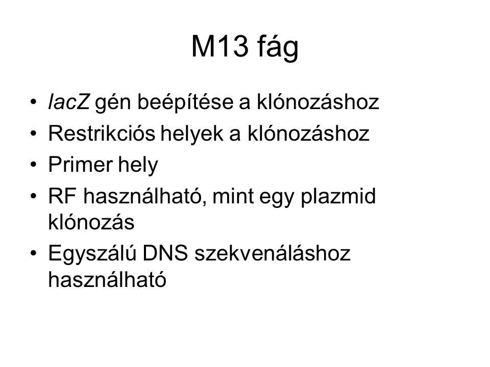 M13 fág lacZ gén beépítése a klónozáshoz Restrikciós helyek a klónozáshoz Primer hely RF használható, mint egy plazmid klónozás Egyszálú DNS szekvenáláshoz használható