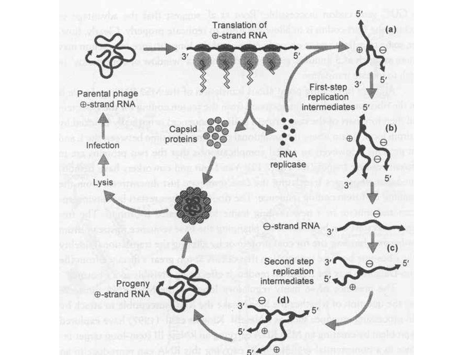 Bacillus subtilis fágok SPO1 –T4-hez hasonló morfológia –Terminálisan redundáns, de egyedülálló szekvencia –Timin helyett 5-hidroxi-metil-uracilt tartalmaz –A gazda RNS polimeráz megváltozik a fág szigma faktorok hatására –2 replikációs origó van, 20x genomnyi konkatemer jöhet létre –A gazda sporulációja gátolja a SPO1 fejlődését, ezért az endospórában virális DNS található, amely lehetővé teszi a szaporodást