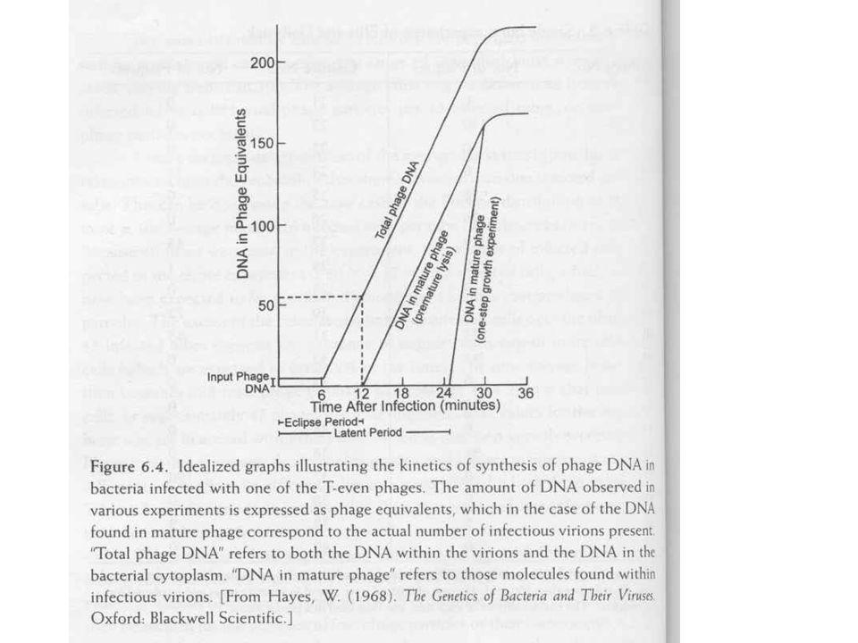 T4 fág (genetikai analízis) Mutáció, r+, RII, lízis gátlás<>rapid lízis Keresztezés –Deléciós térképezés –2, 3 faktoros keresztezés Komplementáció –Cisztron, egy komplementációs csoport egy fehérje Finomtérképezés –Recon: a rekombináció legkisebb egysége, 1 bp –Muton: a mutáció legkisebb egysége, 1bp A kód 3 bp-os