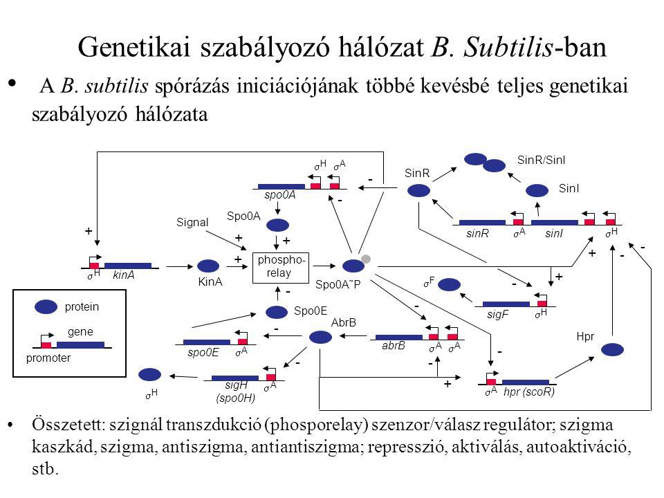 Genetikai szabályozó hálózat B.Subtilis-ban A B.