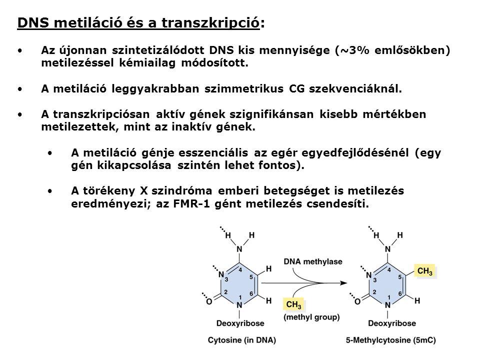 DNS metiláció és a transzkripció: Az újonnan szintetizálódott DNS kis mennyisége (~3% emlősökben) metilezéssel kémiailag módosított.