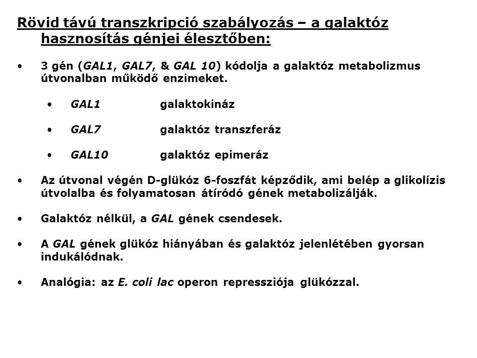 Rövid távú transzkripció szabályozás – a galaktóz hasznosítás génjei élesztőben: 3 gén (GAL1, GAL7, & GAL 10) kódolja a galaktóz metabolizmus útvonalban működő enzimeket.