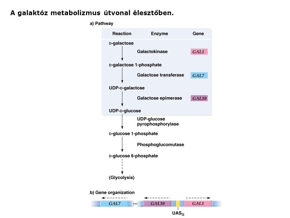 A galaktóz metabolizmus útvonal élesztőben.