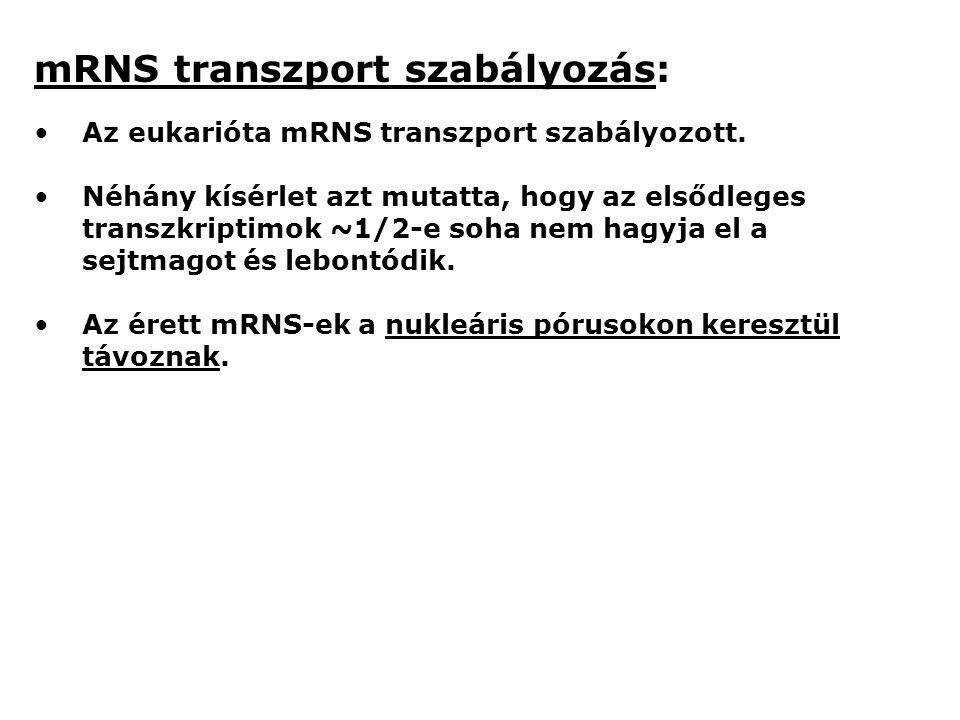mRNS transzport szabályozás: Az eukarióta mRNS transzport szabályozott.