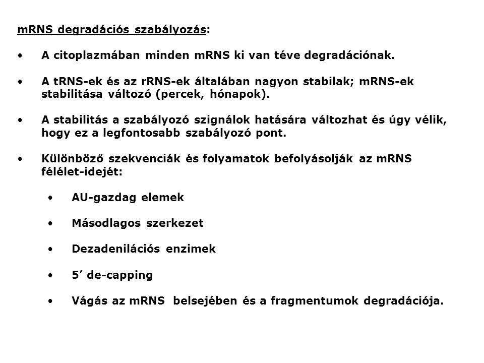 mRNS degradációs szabályozás: A citoplazmában minden mRNS ki van téve degradációnak.