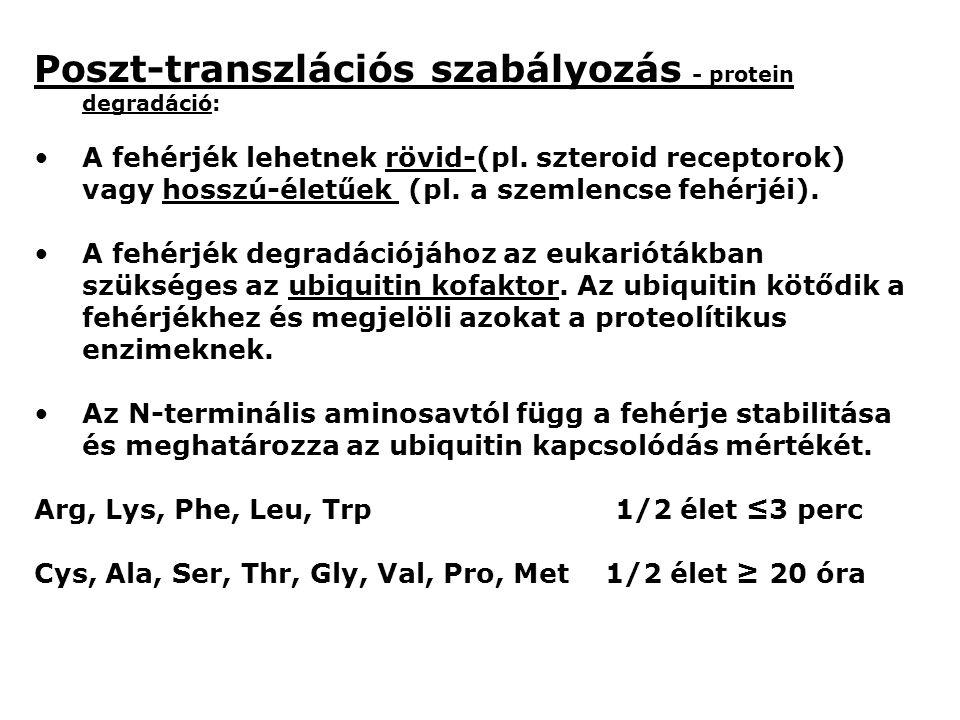 Poszt-transzlációs szabályozás - protein degradáció: A fehérjék lehetnek rövid-(pl.