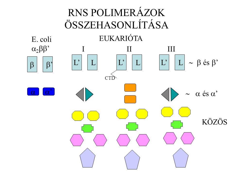 RNS POLIMERÁZOK ÖSSZEHASONLÍTÁSA  ' E.
