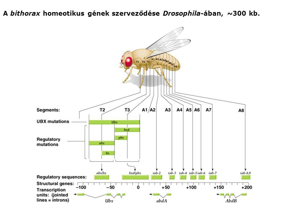 A bithorax homeotikus gének szerveződése Drosophila-ában, ~300 kb.