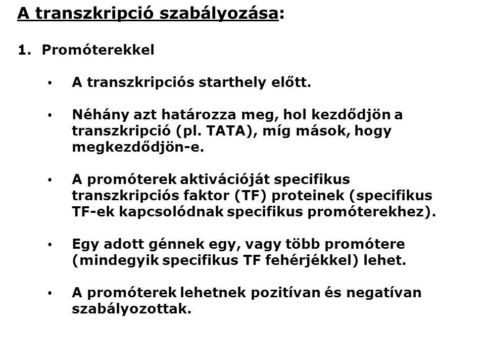 A transzkripció szabályozása: 1.Promóterekkel A transzkripciós starthely előtt.