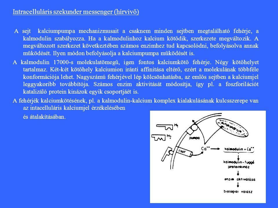 Intracelluláris szekunder messenger (hírvivő) A sejt kalciumpumpa mechanizmusait a csaknem minden sejtben megtalálható fehérje, a kalmodulin szabályozza.