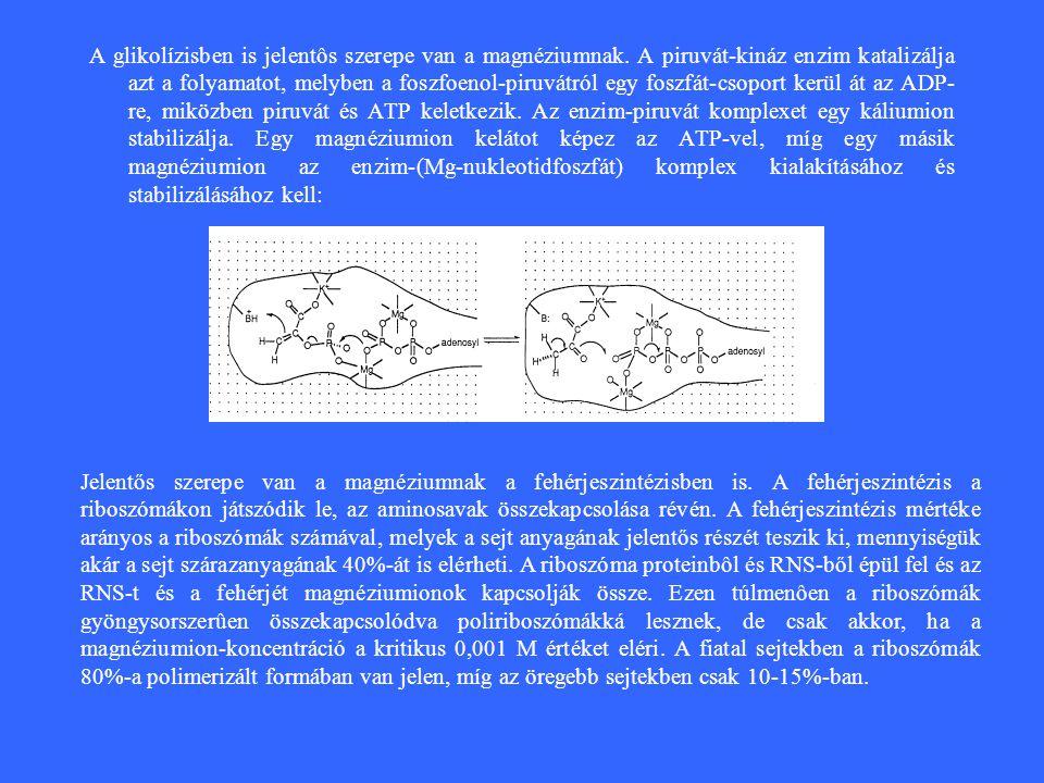 A glikolízisben is jelentôs szerepe van a magnéziumnak.