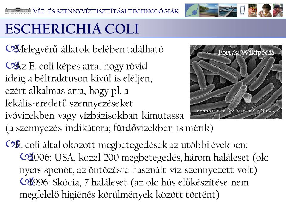 ESCHERICHIA COLI  Melegvér ű állatok belében található  Az E. coli képes arra, hogy rövid ideig a béltraktuson kívül is eléljen, ezért alkalmas arra