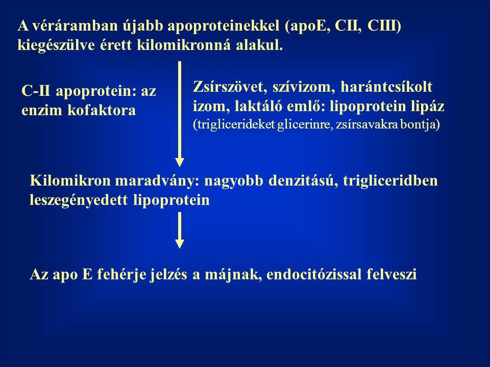 A véráramban újabb apoproteinekkel (apoE, CII, CIII) kiegészülve érett kilomikronná alakul. Kilomikron maradvány: nagyobb denzitású, trigliceridben le