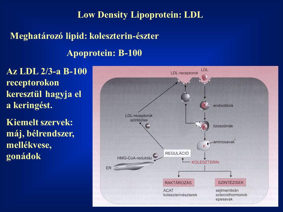 Low Density Lipoprotein: LDL Meghatározó lipid: koleszterin-észter Apoprotein: B-100 Az LDL 2/3-a B-100 receptorokon keresztül hagyja el a keringést.