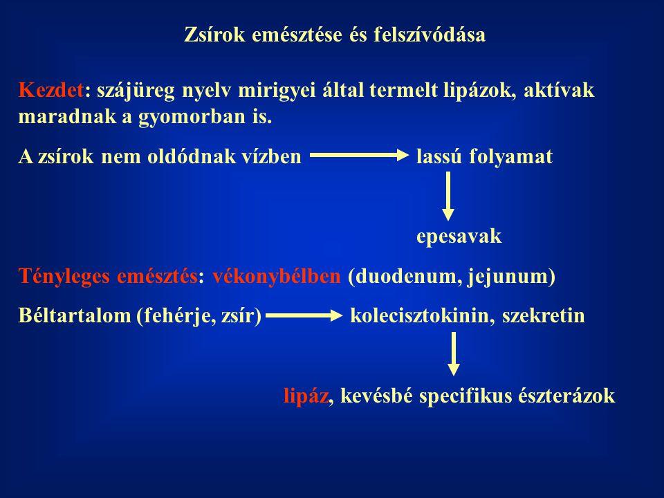 Hasnyálmirigy lipáz Segítség: kolipáz Pancreasnedv: foszfolipáz A 2 proenzim Aktiív foszfolipáz A 2 tripszin Lizofoszfolipáz: a másik zsírsav hidrolízise széklet További bontás után felszívódik