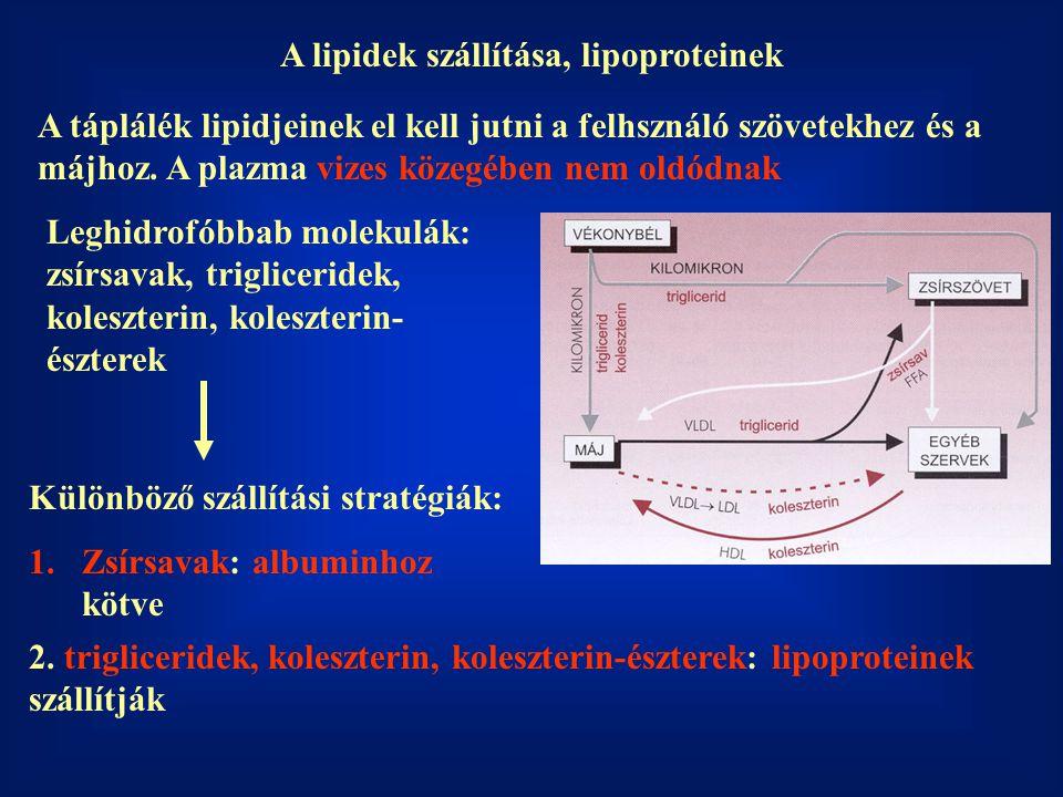 Lipoproteinek: hidrofil szállítóburok a hidrofób lipidek számára Apoproteinek: a szállítóburok fehérje alkotói Foszfolipidek: a burok lipidalkotói (amfipatikusak) A burokban foglal helyet a koleszterin is.