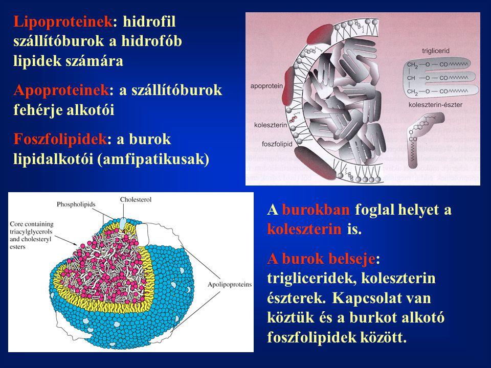 Lipoproteinek: hidrofil szállítóburok a hidrofób lipidek számára Apoproteinek: a szállítóburok fehérje alkotói Foszfolipidek: a burok lipidalkotói (am