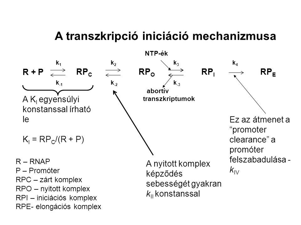 A transzkripció iniciáció mechanizmusa R + P RP C RP O RP I RP E abortív transzkriptumok k1k1 k -1 k2k2 k -2 k3k3 k -3 k4k4 R – RNAP P – Promóter RPC