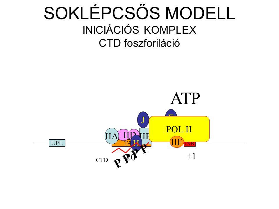 SOKLÉPCSŐS MODELL INICIÁCIÓS KOMPLEX CTD foszforiláció INRTATAUPE -20 +1 IID IIAIIB H J E POL II IIF CTD P P ATP